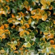 Искусственная зелень Самшит Фолкнер оранжевый на изгородь